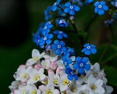Soft Contrast. (Omygodtom) Tags: contrast flower flickr bokeh blue white happy composition colorful color macro branch tamron tamron90mm nikon natural nature nikkor digital d7100 shade park existinglight