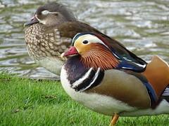 mandarin duck (schaapco) Tags: duck mandarin eend mandarijneend