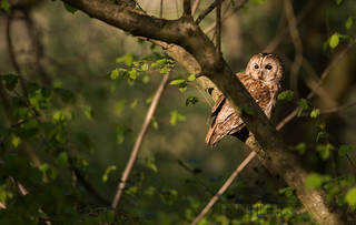 Male Tawny At My Hide