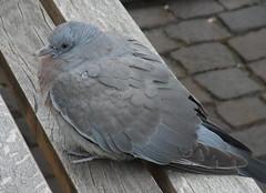 Junge Taube ... ist sie nicht süß? (flixx-ak) Tags: flixxakoffenbachammainhessen deutschland germany natur nature tier animal fauna bird jungetaube 2017 r0022086001