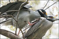 Sweetie... (Nikographer [Jon]) Tags: nationalzoo migratorybirds 20170415d500067200 yellowcrownednightherons ycnh wildlife mating birdhouse nikon d500 600mmf4 sweetie