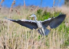 Grey Heron (gillybooze) Tags: teleconverter14 ©allrightsreserved bird heron birdwatcher outdoor water reeds bif