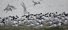 Birds of Texel (Sandwich terns/Grote sterns in de avondschemering, op een klein eiland in het natuurgebied Wagejot) (Elisa1880) Tags: grote stern thalasseus sandvicensis sandwich tern