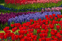 Explosion (marypink) Tags: flowers tulip spring primavera lisse olanda thenetherlands holland fioritura colors nikond800 70300mmf456 parcokeukenhof