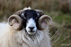 Handsome Hebridean (mootzie) Tags: croft ridges curly ram handsome april harris woolly horns wool blackfaced scotland