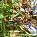 Nematopogon swammerdamella 1