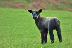 Smiles..x (Lisa@Lethen) Tags: lamb black animal field farm land outdoor nature