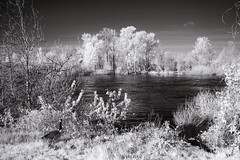 Willamette River - Infrared (JSB PHOTOGRAPHS) Tags: img0708 copy willametteriver canadian canadiangeese trees grass water river eugeneoregon deltaponds infrared canon powershot a85 bw blackandwhite wildlife sky plants vegetation sunnyday sunlight