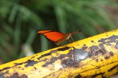 Borboleta bairro São João JM - Wir Caetano - 26 04 2017 (7) (dabliê texto imagem - Comunicação Visual e Jorn) Tags: borboleta inseto amarelo escada ferrugem