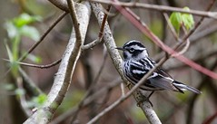 Portrait of the Black-and-white Warbler (praja38) Tags: blackandwhitewarbler warbler nature capricorn humour caps cap animal life wildlife wild songbird portrait beak perch feather feathers wings wing woods forest tail thicksons thicksonswoods ontario canada canadian whitby feet claw
