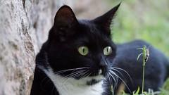 DSC05041 (Olaf Biedron) Tags: afrika schwarzekatze katzenauge katze kater tom grüneaugen aufmerksam imblick blackcat cateye tomcat eye