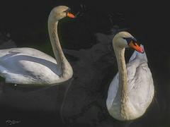 """Cisnes"".""Swans"" (Capuchinox) Tags: cisnes swans estanque sevilla seville andalucia andalusia topaz spain españa birds pajaros aves"