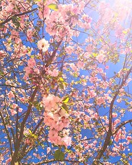 In the city : Västerås City, Sweden : iPhone7 (Tankartartid) Tags: körsbärsträd blommor blossom floweringtrees västerås europe sverige sweden city pinkflowers pink bluesky cherrytrees flowers trees iphone7 iphone instagram