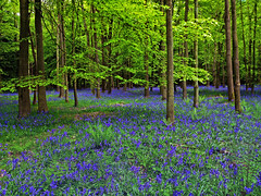 Bluebells (Nada*) Tags: wood uk flowers blue england color colour green nature mobile les bluebells forest wow spring healthy phone walk cell vivid health vegetation bloom wald bluebell 4s ashridge iphone inbloom ashridgeestate ashridgewood iphone4s ashdestate
