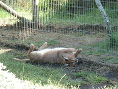 Caracal rolling over (Dunnock_D) Tags: africa shadow cat fence southafrica wire shade rolling rollover caracal enclosure plettenbergbay tenikwa