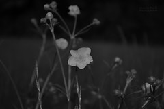 D'ya like B&W Photography (Gareth83cdf) Tags: uk flowers bw lake inspiration plant art nature field wales outdoors spring nikon experimental buttercup creative cardiff meadow penarth valeofglamorgan cosmestonlake d5100