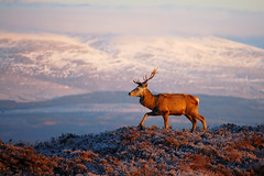 Red deer stag (Gavin Macrae) Tags: winter nature landscape mammal scotland highlands nikon stag wildlife deer reddeer cervuselaphus scottishlandscape scottishwildlife scottishmountains 2013 highlandsofscotland strathglass