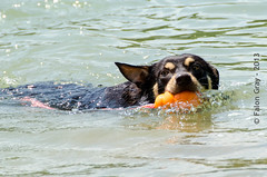 Limit Swims 2013-05-21-13 (falon_167) Tags: dog australian limit kelpie australiankelpie