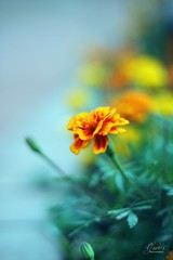 (gudds ) Tags: flower colors garden dof bokeh tones