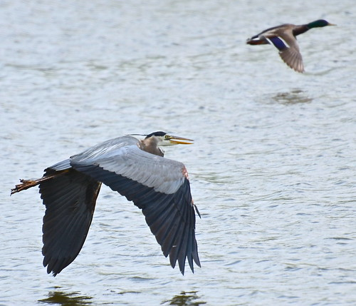 Heron and Duck race 2 at Fermi Lab Batavia IL