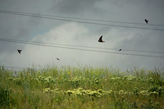 swooping swallows eating lunch (heartinhawaii) Tags: storm nature birds yellow clouds grey flying inflight spring colorado wildlife powerlines manualfocus blackbirds swallows nikond3100