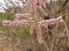 Tamarix ramosissima (Matt Lavin) Tags: arizona tree shrub monumentvalley inflorescence introduced tamarixramosissima tamaricaceae saltcedar