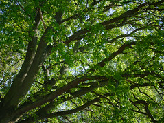 Reaching for the sky (WilliamJW46) Tags: trees sky green nature branches diagonal foliage birkenhead bark wirral treetrunks