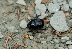 Dor Beetle (Atlantisio) Tags: animal insect beetle dor