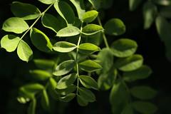 Green, leafy (Jon Dev) Tags: plant canada green calgary nature monochrome leaves lines shadows curves alberta vegetation