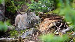 568A9014.jpg (CookiesForDevo) Tags: canada wildlife places lynx salmoniernaturepark newfoundlandandlabrador