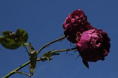 Rose; Schleswig, Holm (161) (Chironius) Tags: schleswig schleswigholstein deutschland germany allemagne alemania germania германия szlezwigholsztyn niemcy blüte blossom flower fleur flor fiore blüten цветок цветение rose rosa roze gül роуз rosen roses rötlich rosids fabids rosales rosenartige rosaceae rosengewächse rosoideae