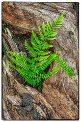 Penn woods-1-2 (minar5) Tags: fern texture log pennllaggaerwoods