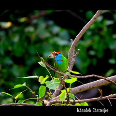Blue Throated Barbet copy (Thru The Lenses (Ishandeb New)) Tags: india birds asia kolkata thruthelenses ishandeab