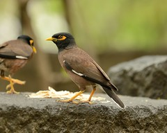 2013-06-16 Pune 5 (JanetandPhil) Tags: india birds nikon maharashtra nikkor d800 businesstripstoindia