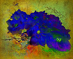 Nights in Blue Velvet:  Roses at Adelphia Plantation, Edgecombe County, North Carolina (EdgecombePlanter) Tags: blue roses painterly abstract nc vivid northcarolina canvas adelphia blueroses edgecombe likeapainting boldcolors