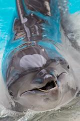Dolphin (gauravs82) Tags: water swim marine dolphins friendly whale aquatic mammals intelligent bottlenose