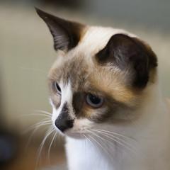 Lisa (No_Water) Tags: brown white black cat snowshoe lisa