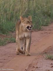 Lion, Uganda (Hans Olofsson) Tags: africa lion uganda ecoturism murchinsonfalls
