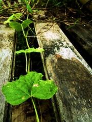 Daun ? (PieceOfMindArt) Tags: plants nikon exotic s3000