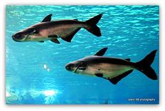Giant  Catfish. (cpark188) Tags: fish wildlife picasa catfish giantcatfish touristspot paintnet riversafari olympusepl1 singaporeriversafari