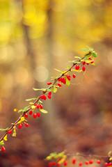 (kelsi__b) Tags: autumn fall nature 50mm nikon colorful berries dof bokeh pennsylvania warmtones beautyinnature centralpennsylvania