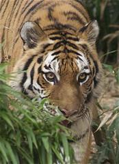out of the bush (ucumari photography) Tags: sc zoo october south tiger columbia carolina siberian amur riverbanks 6521 2013 specanimal ucumariphotography