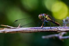 Libellule (L'Teigneux) Tags: nature insecte libellule faune odonata pterygota palaeoptera