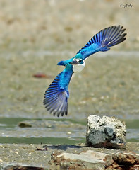 (83a) White-collared Kingfisher - [ Langkawi, Malaysia ] (tinyfishy's World Birds-In-Flight (Gone to Africa)) Tags: bird flying inflight asia south philippines east kingfisher subic collared