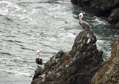 Brown Pelican at Bonita Point (lenidenengelse) Tags: sanfrancisco california goldengatebridge brownpelican marinheadlands bonitacove