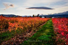Fields of Flame (Starlisa) Tags: autumn fall nature photography blueberry therapy healing bushes 2012 waveclouds standingwaveclouds starlisa darlisa leewave starlisablackphotography darlisablack starlisanet black2013 naturebringshealing fallblueberries697512