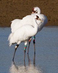 Whooping Cranes by Steve Gifford (Steve Gifford - IN) Tags: county nature photo crane wildlife steve picture indiana cranes photograph steven society gibson audubon gifford ias whooping haubstadt