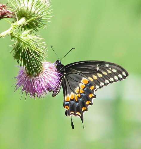 Black swallowtail in pink thistle