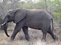 DSC00352 (m_kabza) Tags: southafrica safari timbavati tandatula