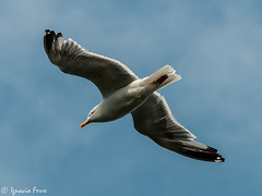 Gaviota patiamarilla (Ignacio Ferre) Tags: bird seagull gull ave gaviota larus herringgull laruscachinnans gaviotapatiamarilla